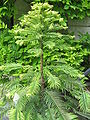 Wollemia nobilis02.jpg