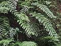 Woodwardia radicans1.jpg