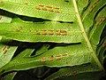 Woodwardia radicans sori.jpg