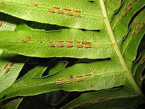 Sori des Wurzelnden Kettenfarns (Woodwardia radicans)