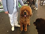 World Dog Show, Amsterdam, 2018 - 27.JPG