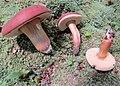 Xanthoconium purpureum Snell & E.A. Dick 638486.jpg