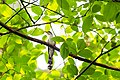 Yellow-billed cuckoo (19387595181).jpg