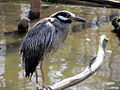 Yellow-crowned Night Heron 2.jpg