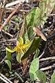 Yellow Trout Lily (Erythronium americanum) - Kitchener, Ontario 02.jpg