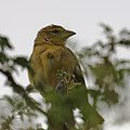 Yellow canary-0895 - Flickr - Ragnhild & Neil Crawford.jpg