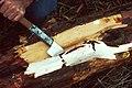 Yew bark Taxol PD.jpg