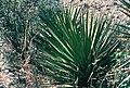 Yucca grandiflora fh 0401 MEX BA.jpg