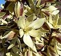 Yucca schidigera 5.jpg