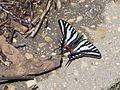 Zebra Swallowtail 02.jpg