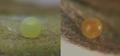 Zebra Swallowtail eggs, Megan McCarty106.PNG