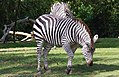 Zebra at Woodland Park Zoo, Seattle WA.jpg