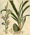 Zygopetalum maculatum (as Zygopetalon mackayi) - Curtis' 54 (N.S. 1) pl. 2748 (1827).jpg