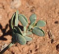 Zygophyllum compressum leaves.jpg