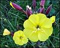 'Plant-Oenothera-Teunisbloem-05.jpg