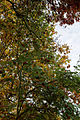 'Sorbus pohuashanensis' & Oaks - Beale Arboretum - West Lodge Park - Hadley Wood - Enfield London.jpg