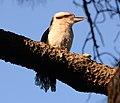 (1)Centennial Park kookaburra-95.jpg