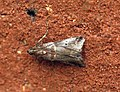 (1438) Trachycera suavella (9504570658).jpg