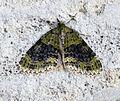 (1883) Yellow-barred Brindle (Acasis viretata) (17569357491).jpg