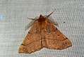 (1923) Feathered Thorn (Colotois pennaria) (4036891140).jpg