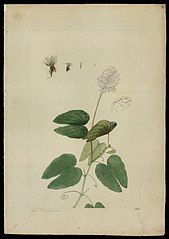(Bauhinia longipetala, Benth)