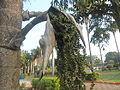 (Caryota urens) Palm tree at Shivaji Park 06.JPG
