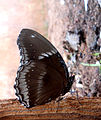 (Euploea core) common crow butterfly at Madhurawada 02.JPG