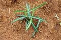 (Hemidesmus indicus) Indian sarsaparilla shrub at Simhachalam hill.jpg