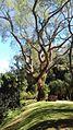 Árvore, Parque do Inhotim.jpg