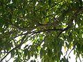Árvore abrigando centenas de pássaros - panoramio.jpg