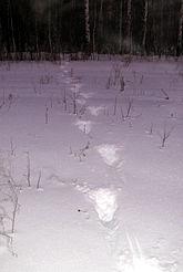 Следы лося на снегу. Знаменский район Омской области