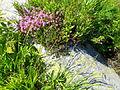 Витоша - Цветя и храсти.JPG