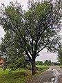 Дерево в Валуйках.jpg