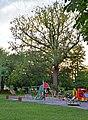 Дуб Мозолевського у парку Крістерова гірка.jpg