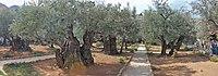 Оld Olive trees in the Garden of Gethsemane, 12.jpg