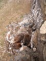 Пташенята канюка монгольського (Buteo hemilasius) у гнізді зі сміття, пустеля Гобі, Монголія.jpg
