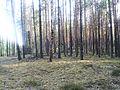 Сосновый лес 2.jpg