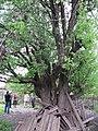 Старовинна груша на Карнаватці 13.jpg