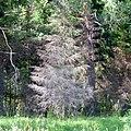 Сухое дерево. Уинский район, Пермский край - panoramio.jpg