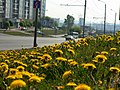 Ул.Копылова. Июньские одуванчики.The June dandelions. - panoramio.jpg