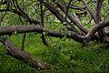 Яблуня-колонія, м.Кролевець, img4.jpg