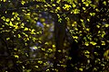 برگ زرد-پاییز-yellow leaves-falling leaves 28.jpg