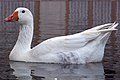 غاز -Geese 06.jpg