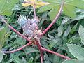 ஆமணக்கு 2 Ricinus communis.jpg