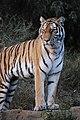 アムールトラ(Siberian Tiger) (5339412720).jpg
