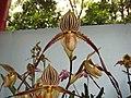 兜蘭屬 Paphiopedilum philippinense v laevigatum -香港青松觀蘭花展 Tuen Mun, Hong Kong- (13918154858).jpg