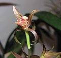 報歲金榜提名 Cymbidium sinense 'Name in Imperial Scholar List' -香港沙田國蘭展 Shatin Orchid Show, Hong Kong- (12284832616).jpg