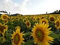 夏の花(The yellow horizon) - panoramio.jpg