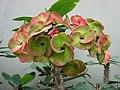 大花麒麟 Euphorbia x lomi -新加坡濱海灣花園 Gardens by the Bay, Singapore- (24270475573).jpg