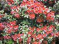 小石川植物園ツツジ園 - panoramio (1).jpg